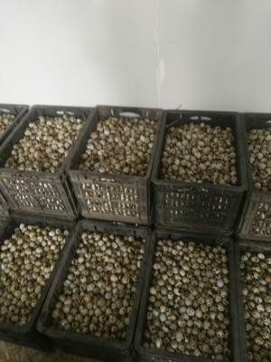 河南省新乡市封丘县黄羽鹌鹑蛋 食用 散装