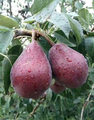 早酥红梨苗 1~1.5米