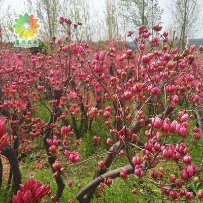 湖北省随州市曾都区迎红杜鹃 1~1.5米