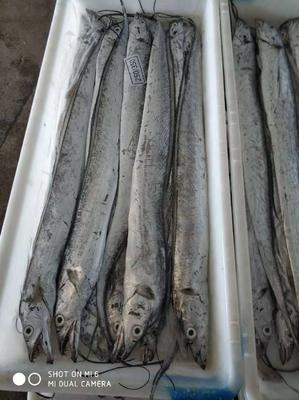 山东省临沂市河东区舟山带鱼 野生 0.5公斤以下