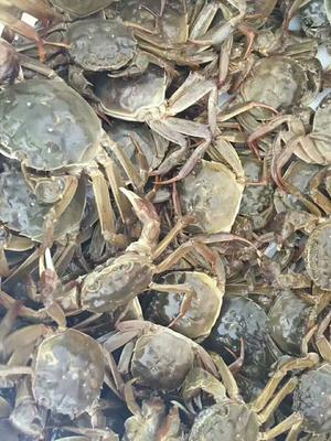 安徽省合肥市庐江县黄陂湖大闸蟹 2.0两以下 母蟹