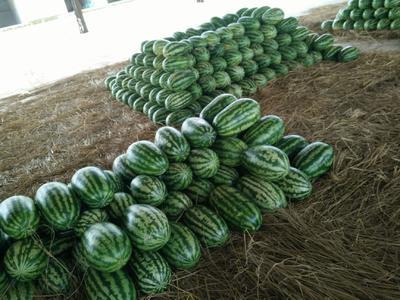 云南省德宏傣族景颇族自治州瑞丽市花皮无籽西瓜 有籽 1茬 8成熟 6斤打底