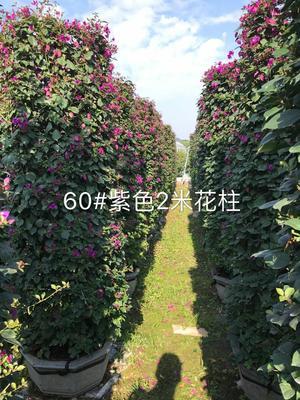 福建省漳州市龙海市紫花三角梅 1.5~2米