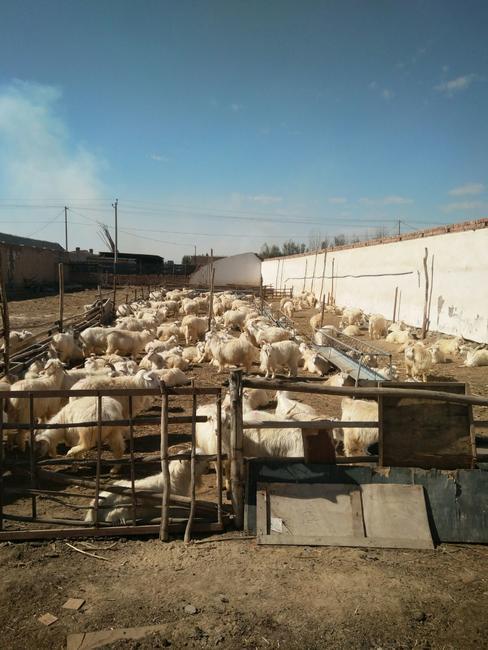 乌拉特后旗后山羊 30-50斤