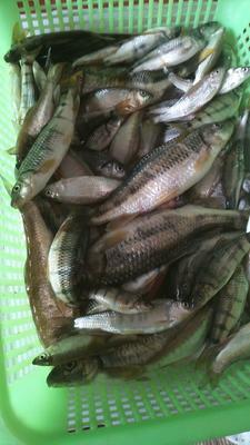 浙江省衢州市开化县淡水石斑 野生 0.5公斤以下