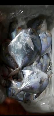 福建省漳州市诏安县北部湾带鱼 野生 0.5公斤以下