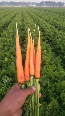 河南省开封市通许县三红胡萝卜 15cm以上 2两以上 3~4cm