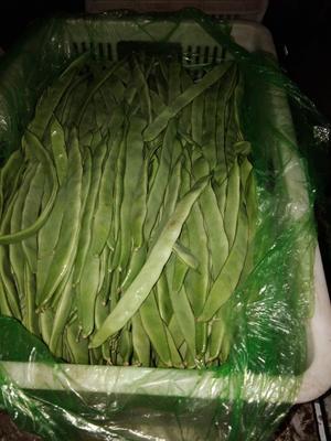 山东省聊城市东昌府区绿扁豆 2cm以上 20cm以上
