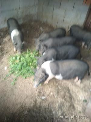山东省潍坊市高密市藏猪 20-25斤