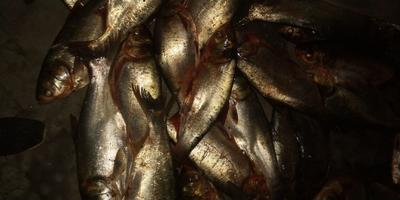 山东省潍坊市坊子区白鲢鱼 野生 1-2.5公斤