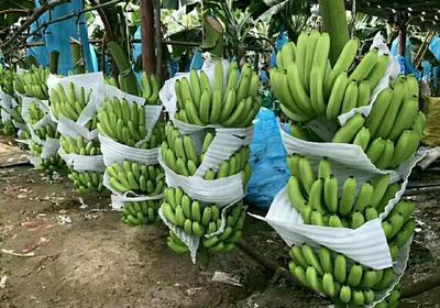 广西壮族自治区钦州市灵山县威廉斯香蕉苗