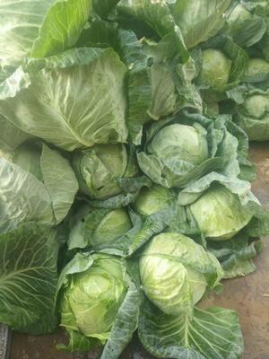 上海浦东新区卷心包菜 0.5~1.0斤