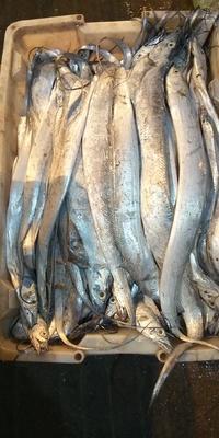 江苏省连云港市赣榆区东海带鱼 野生 0.5公斤以下
