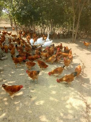 湖北省武汉市黄陂区土鸡 公 3-4斤