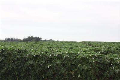 广西壮族自治区南宁市西乡塘区大白木瓜 1 - 1.5斤