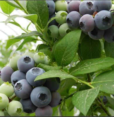 蓝丰蓝莓苗 带花发货 包成活 提供技术