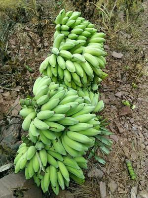 云南省普洱市墨江哈尼族自治县中山大粉蕉 七成熟 40斤以下
