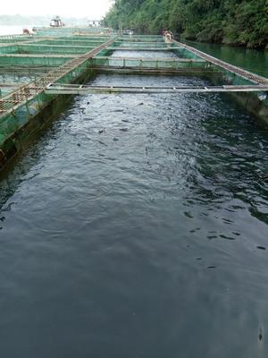 广西壮族自治区来宾市合山市网箱草鱼 人工养殖 1.5-6公斤