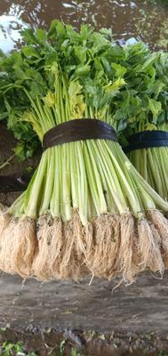 福建省漳州市漳浦县香芹 30.6cm 露天种植 0.5~1.0斤