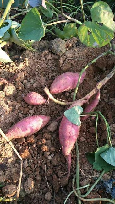 紫罗兰紫薯 混装通货