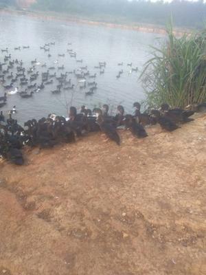 江西省抚州市临川区番鸭 公 半圈养半散养 5-6斤