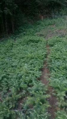 贵州省六盘水市盘县杉木树苗
