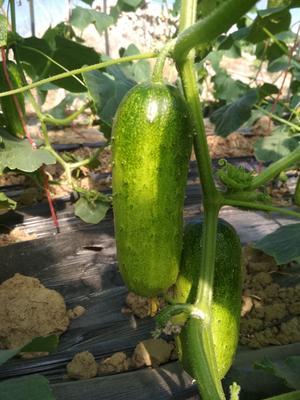 湖北省随州市曾都区大刺黄瓜 18~22cm 干花带刺