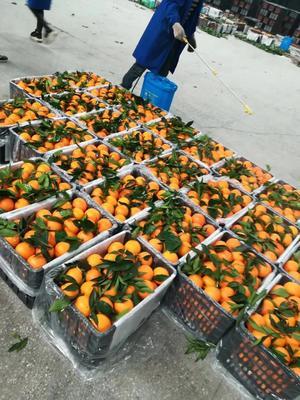 这是一张关于奉节脐橙 80-85mm 4-8两的产品图片