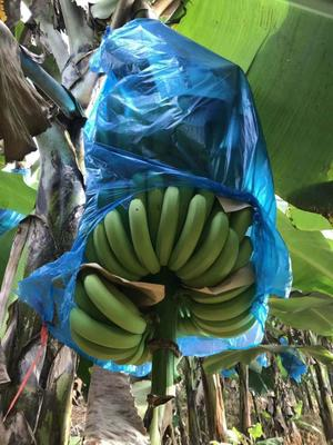 云南省红河哈尼族彝族自治州金平苗族瑶族傣族自治县金平香蕉 八成熟 40 - 50斤