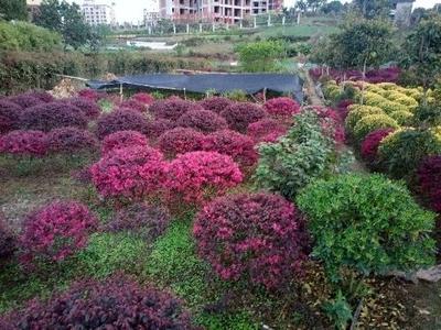 重庆北碚区双面红