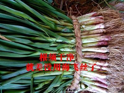 江苏省盐城市大丰市红根蒜苗 50 - 60cm