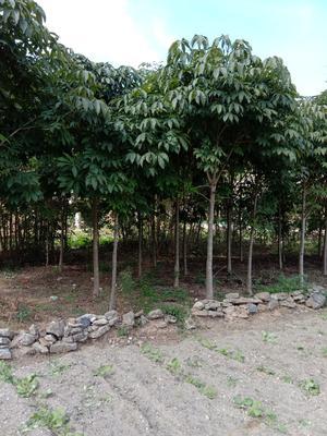 陕西省汉中市洋县七叶树