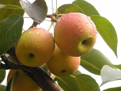 南果梨苗  0.5~1米 辽宁梨树苗梨苗