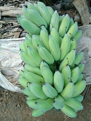 广西壮族自治区南宁市西乡塘区粉蕉 八成熟 50 - 60斤