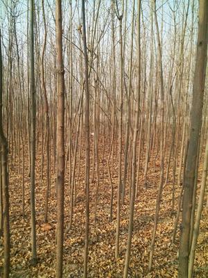 河北省保定市博野县老式白蜡 3~3.5米