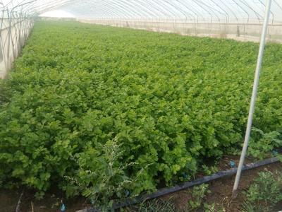 山东省济南市商河县香芹 55~60cm 大棚种植 0.5斤以下