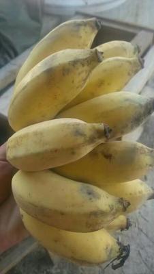 广西壮族自治区钦州市灵山县粉蕉 七成熟 40斤以下
