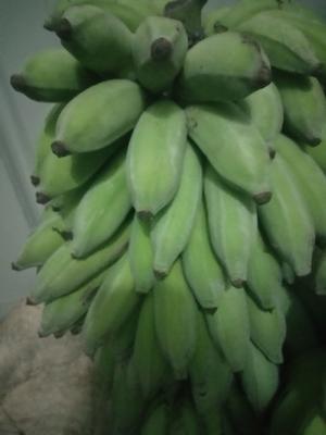 贵州省黔西南布依族苗族自治州册亨县西贡蕉 七成熟 40 - 50斤