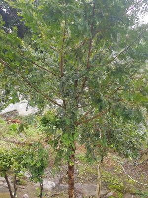 贵州省遵义市凤冈县南方红豆杉 2.5~3米