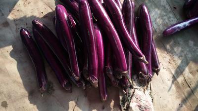 广西壮族自治区贺州市八步区紫长茄 5两以上