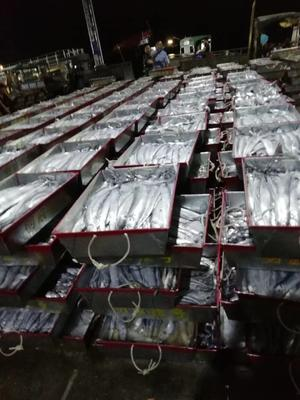 广东省汕尾市城区东海带鱼 野生 0.5公斤以下