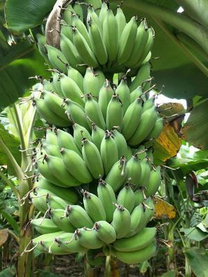 云南省西双版纳傣族自治州勐海县芭蕉 八成熟 40 - 50斤