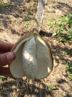 湖南省常德市石门县青皮八月瓜 种植 70-80g