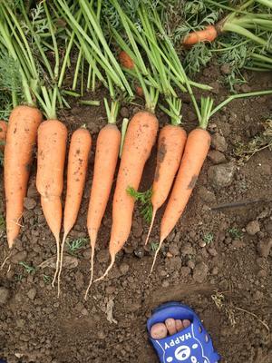 山东省青岛市平度市三红胡萝卜 15cm以上 2两以上 3~4cm