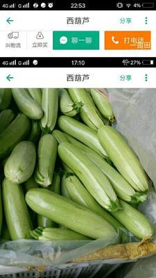 河南省商丘市虞城县珍玉17西葫芦 0.4斤以上