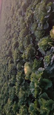 内蒙古自治区包头市土默特右旗青麻叶大白菜 6~10斤 毛菜