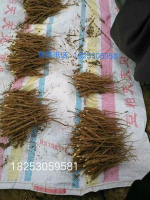 山东省菏泽市牡丹区赤芍 2cm以下 0.5米以下