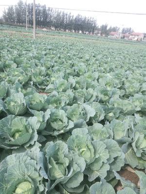 山东省菏泽市牡丹区京丰一号甘蓝 3.5~4.0斤