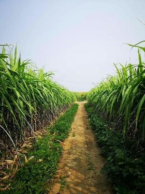 北京顺义区黑皮甘蔗 2 - 2.5m 3 - 4cm