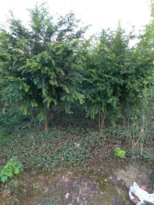 广西壮族自治区桂林市兴安县南方红豆杉 2.5~3米